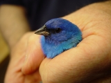 Indigo Bunting...What a Beautiful bird!