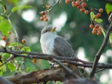 Yellow-billed Cuckoo in Tree after released